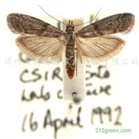 粉斑螟Ephestia cautella