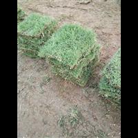 福建马尼拉草--广东马尼拉草