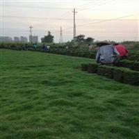 福建台湾草--广东台湾草