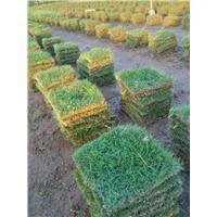 广东草皮|福建草皮