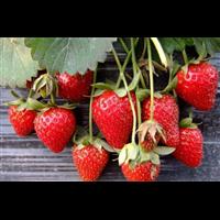 草莓種植基地