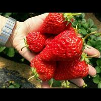 草莓采摘園