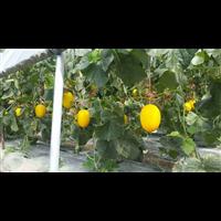 甜瓜種植基地