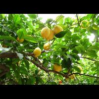 檸檬采摘園