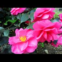 茶梅--廣西花卉園藝場