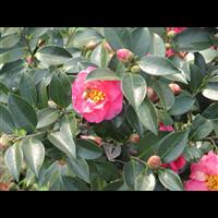 觀賞性花木--廣西鹿寨園林花木場