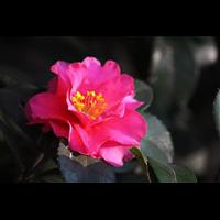 茶梅花--廣西柳州鹿寨花木場