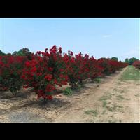紅火箭紫薇--廣西柳州鹿寨園藝花木場