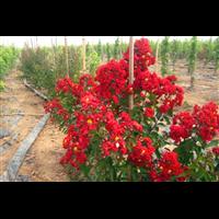 紅火箭紫薇--觀賞性園藝花木場