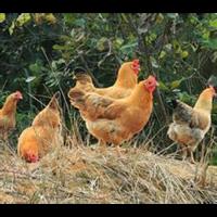 家禽、牲畜的饲养