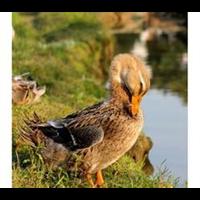 家禽、牲畜的饲养1