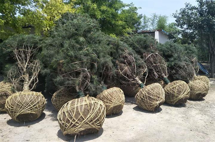 陕西景盛苗圃2-5米雪松