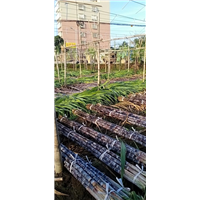 广东甘蔗代办/翁源甘蔗代办