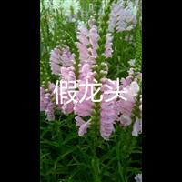 假龙头热销-东北花卉 辽宁台安花卉