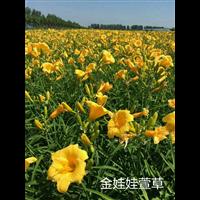 金娃娃萱草-辽宁萱草 东北萱草