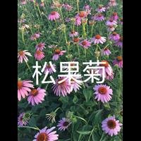 松果菊|辽宁松果菊|东北松果菊
