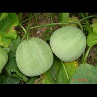 北京甜瓜市场批发价格_北京甜瓜批发商