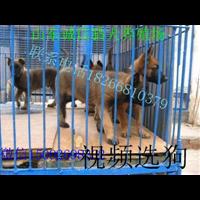 马犬养殖场马犬多少钱