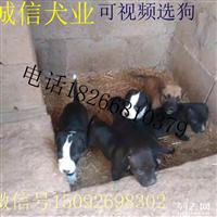 狼青犬养殖场