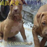 比特犬价格养殖场合作社