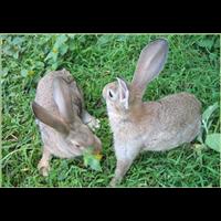 山东【【杂交野兔】】大量出售