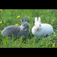 """全国出售批发""""新西兰兔""""养殖基地"""