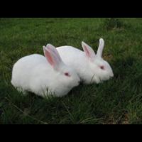 云南新西兰兔批发电话