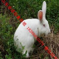 河南新西兰兔供货商养殖基地