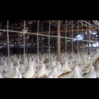 安徽肉鸽养殖、安徽鸽子养殖、安徽鸽子养殖场