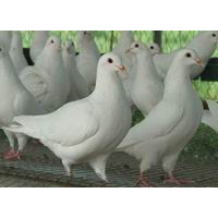 安徽鸽子养殖场、安徽鸽子、安徽鸽子场
