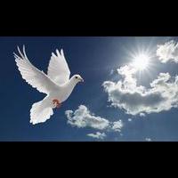 安徽肉鸽、安徽肉鸽养殖、安徽鸽子养殖