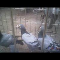安徽种鸽、安徽肉鸽、安徽肉鸽养殖、安徽鸽子养殖