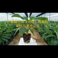 广西南宁市兴旺香蕉粉蕉种苗组培公司