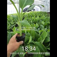 廣西香蕉苗西貢粉蕉苗廠家直銷價香蕉苗粉蕉苗紅頭粉蕉苗