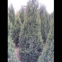 出售各种规格圆柏、陕西圆柏批发、陕西榆林圆柏种植基地