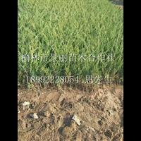 大量沙地柏出售/陕西沙地柏批发/陕西最大的沙地柏产地