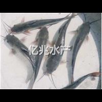 桂林斑点叉尾�t鱼苗