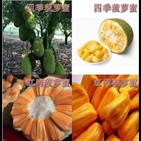 云南菠萝蜜苗1云南芒果苗