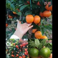 云南无籽沃柑苗1云南沃柑苗