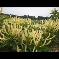 江西哪里有金银花种苗