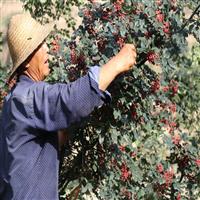 苏州花椒苗种植方法花椒苗怎么卖