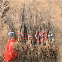 天津哪里有花椒苗种植基地联系方式