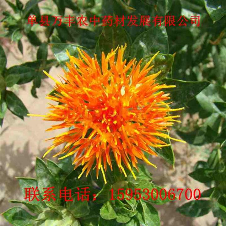 菏泽红花种子@安徽红花种子@四川红花种子