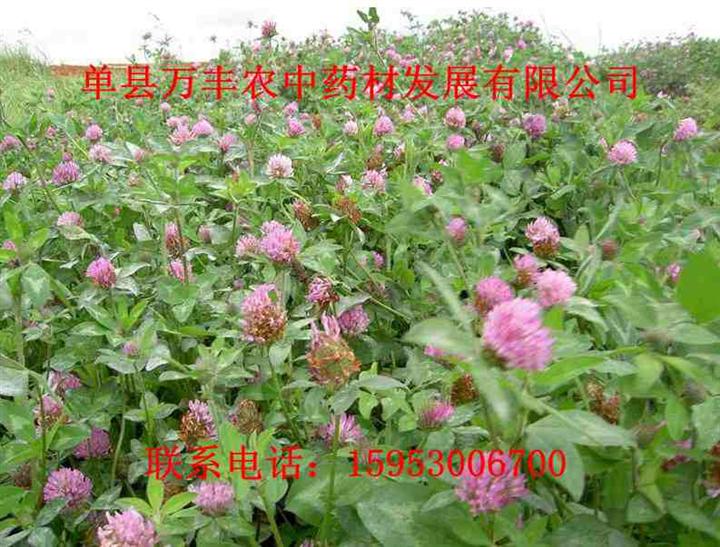 吉林红花种子@吉林红花种子批发@吉林红花种子价格