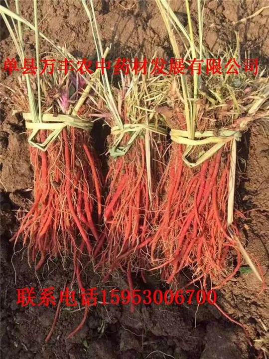 甘肃丹参种苗|甘肃丹参种苗供应|甘肃丹参种苗多少钱
