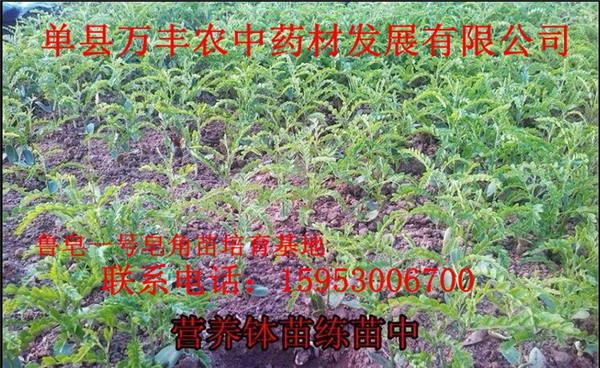 济南皂角苗价格-济南皂角苗出售-鲁皂一号皂角苗