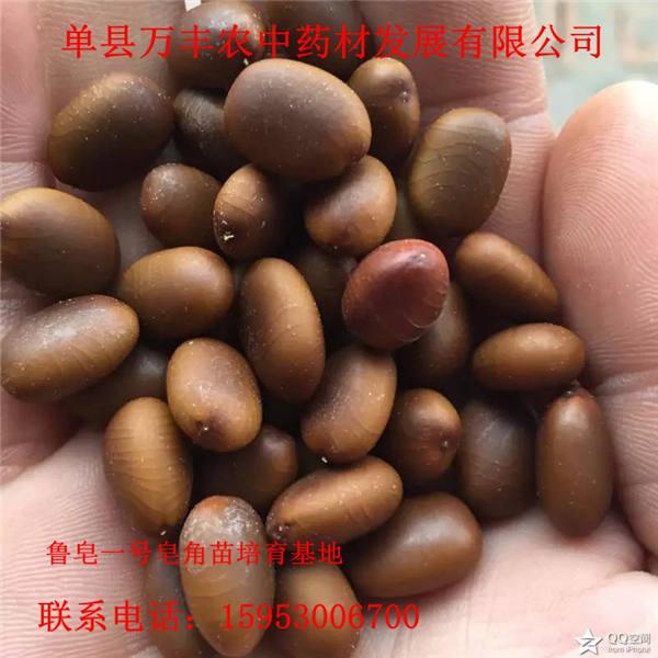 诸城皂角籽批发-诸城皂角籽供应-鲁皂一号皂角籽