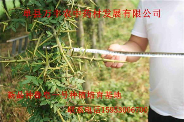 枣庄皂角苗批发-枣庄皂角苗价格-皂角苗