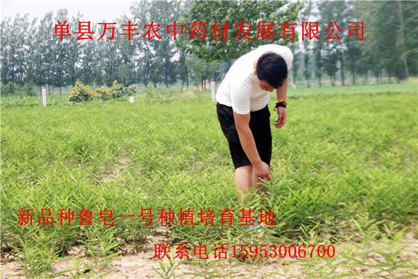 东营皂角苗哪里多-东营皂角苗种植基地-皂角苗