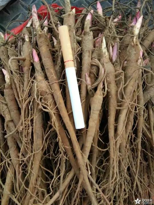 赤芍种苗批发